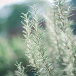 alecrim benefícios espirituais